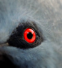 Pigeon Eye (S.E.A. Photography) Tags: westerncrownedpigeon pigeon bird animals nature eye red blue macro photography feathers