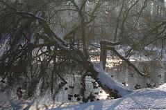 Winter (Natali Antonovich) Tags: winter christmasholidays christmas belgium belgique belgie tervuren park landscape nature tree birds snow frost water