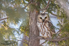 Petite Nyctale (Philou73couz) Tags: petitenyctale northern sawwhet owl québec canada winter hiver aegolius acadicus