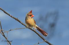 *** Cardinal rouge femelle / Northern cardinal female (ricketdi) Tags: bird cantley cardinal cardinalrouge cardinaliscardinalis northerncardinal coth5 ngc sunrays5 npc