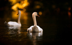 'Into the Light' (Jonathan Casey) Tags: swan norfolk thetford river little ouse nikon d810 400mm f28 vr