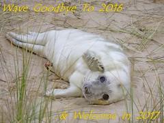 Happy New Year ! (mr_snipsnap) Tags: happy new year greetings grey seal pup baby mammal fauna norfolk beach dunes sand coast nature wildlife
