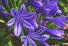 Agapanthus (S♡C) Tags: agapanthus flower purple outdoor plant green australia summer iphone5