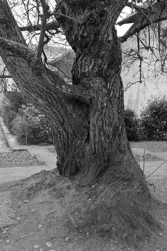 l'arbre du cloître