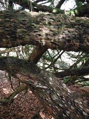 Money Tree 5 (StaircaseInTheDark) Tags: clapham yorkshire yorkshiredales northyorkshire northernengland england britain uk unitedkingdom greatbritain countryside rural outdoors nature naturetrail claphamnaturetrail claphamtrail moneytree