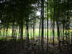 Bamboo forest and Brassica sp. 1 (sakemoge) Tags: 長居 大阪 植物園 日本 関西 近畿 botanical garden winter bamboo brassica sp yellow green botany landscape bokeh nature japan osaka