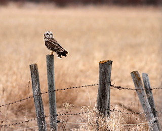 Short-eared Owl (Asio flammeus) {Explored}