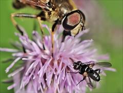 "12.aaaool-mier.vlieg.zw.vlieg haagwinde.distel-3-7-16-t.huisjes.cr'steyn-leiden-(n.D90-105vr-r.f) (""HansFfloraFauna"" - j fidom) Tags: vliegendemier zwvlieg hoverfly ant flyant distel"
