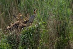 01-5649 (fix.68) Tags: héronpourpré nid oiseau