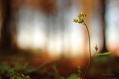 八德落羽松 (Lavender0302) Tags: 落羽松 八德 桃園 台灣 taiwan flowers carlzeiss planar t 1750 cymount