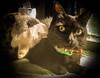 Alina y su peluche (© fOto) Tags: alina cat gato gata gatita gatito pet mascota animal felino feline samsung xcover xcover2 galaxy claudiocigliutti lightroom lr