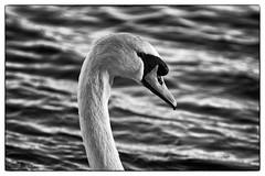 Mute Swan on the Castle Loch Lochmaben (penlea1954) Tags: nature reserve dumfries galloway scotland uk outdoor dumfriesshire bird castle loch lochmaben mute swan cygnus olor white bw black