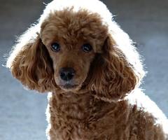 Poodle Portrait (Donna JW) Tags: picmonkey poodle miniaturepoodle dog pet redpoodle portrait backlit