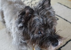 just Jinks (quietpurplehaze07) Tags: jinks cairnterrier