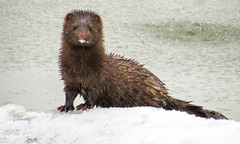 American Mink - Niagara River (Ground State Photos) Tags: nature winter wildlife mink americanmink mammals mammal aquatic