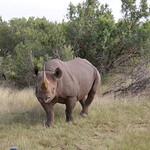 Nashorn, Südafrika