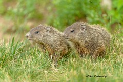 Baby Groundhogs emerging from their den..... (Mike Podrasky's photography) Tags: babies kensington groundhogs mikepodrasky