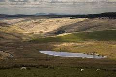 Cambrian Landscape (shawn~white) Tags: plant nature grass animal wales landscape place sheep unitedkingdom tregaron shawnwhite cambrians shawnraisindp