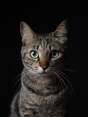 Hana (rampx) Tags: portrait cat pentax tabby hana neko 猫 ねこ miaw 645z