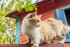 Buenos Aires - Argentina - La Boca - Cat (Photography Chronicles) Tags: travel argentina cat photography buenosaires streetphotography laboca boca businesstrip bocajunior sonya77 photographychronicles