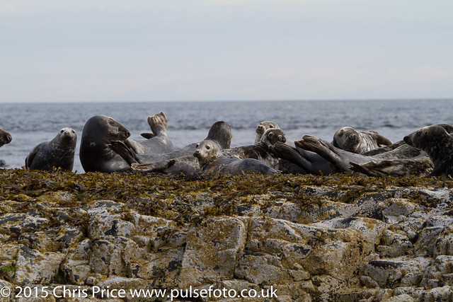 Grey Seals, Farne Inslands