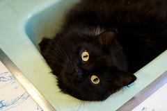 Sink Cat (juliafrenchfrey) Tags: cats black animal animals yellow fauna cat blackcat bathroom eyes feline sink teal cateyes