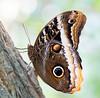Another Caligo... (Glenn van Windt) Tags: caligoatreus yellowedgedgiantowlbutterfly geelgerandeuilvlinder lepidopterarhopalocera butterfly vlinder macro closeup insect butterflygarden vlindertuin artiszoo sigma180mm128apomacrodghsm