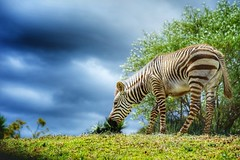 Before the storm (Rod Anzaldua) Tags: zebra cebra nature naturaleza storm tormenta grass pasto animal colors sun sunlignt colores sol luz