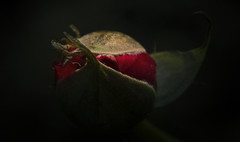 _.< (dagomir.oniwenko1) Tags: rose color canon canoneos7d style canonefs60mmf28macrousm darkness red flowers nature boston england edis08edis08 uk