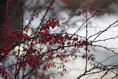 red on white (kinaaction) Tags: winter sonyilce6000 wintertime snow red bush berberis barberry nature shrub