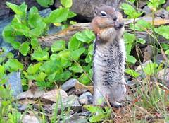 DSC_0655 (rachidH) Tags: squirrel écureuil rodents goldenmantledgroundsquirrel spermophiluslateralis callospermophiluslateralis spermophileàmanteaudoré écureuilterrestreàmanteaudoré spermophileàmanterayée logan pass loganpass westglaciernationalpark montana rockymountains mt rachidh nature