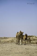 Camel - Farwell (Osama Ali Photography) Tags: animal animals animales camels camel camello desert desierto sand sahara salvaje arena wildlife wild egypt egipto dry seco sunlight جمل جمال صحراء مصر البرية حيوانات