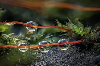 Kugelspringer (Collembola) hängt an einem Wassertropfen