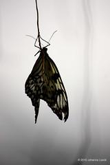 """Light Through Butterfly Wings (Aruba) (runintherain) Tags: runintherain canon450dxsi canon canonxsi caribbean lesserantilles flora nature outdoor animals butterflies blackandwhite bw bokeh details light aruba """"netherlands"""" abcislands dutchcaribbean arubabutterflyfarm oranjestad"""