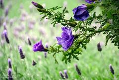 Purple haze (ChrisKirbyCapturePhotography) Tags: purple purpleflower flowers alyogyne native hibiscus australian spring