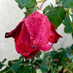 Home garden (Assaf Shtilman) Tags: drops rain red rose oklahoma
