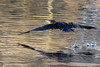 Cormoran décollage 170116-01-RP (paul.vetter) Tags: oiseau ornithologie ornithology faune animal bird phalacrocorax carbo great cormorant