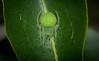 green orb (dustaway) Tags: arthropoda arachnida araneae araneomorphae araneidae araneinae araignee orbweaver araneus australianspiders greenspider tullerapark tullera northernrivers nature nsw australia