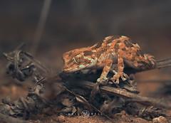 Helmeted Gecko (Tarentola chazaliae) (Kristian Bell) Tags: helmeted gecko reptile night nocturnal macro manimal wild wildlife morocco kris kristian bell 2016 canon