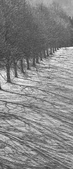 Trees in winter (spencerrushton) Tags: spencerrushton spencer canon canonlens canonl canon760d 760d canon24105mmlf4 24105mm l manfrotto manfrottotripod model macro clivedenhouse cliveden tree trees beautiful black berkshire walk wood white monochrome bw raw outdoors garden gardens nature dslr daylight day dethoffield dof