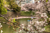 _MG_2181 (<<Jamms>>) Tags: sakura cherry blossom trees nature japan tokyo park petals water pond spring hanami boat color colors pink