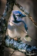 Blue Jay (The Suss-Man (Mike)) Tags: cumming forsythcounty georgia nature snow snowday snowingeorgia sonyilca77m2 sussmanimaging thesussman bird animal bluejay
