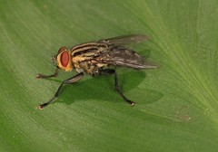 IMG_8213(1) (Roving_photographer) Tags: fly royalnationalpark sydney nsw australia yellow flesh sarcophaga