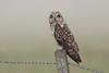 Short-eared Owl (Marvandae) Tags: shortearedowl velduil uitkerksepolder