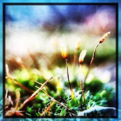 Moss macro. #collegepark #maryland #iPhone #commute #sidewalk #roadside #iPhonemacro #macro #olloclip #olloclipmacro #flower (Kindle Girl) Tags: roadside iphonemacro collegepark maryland iphone commute sidewalk macro olloclip olloclipmacro flower iphone365