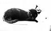 Black Cat little man reclining monochrome (PDKImages) Tags: cat black ragdoll monochrome pet animal feline blackcat asleep eyes calming