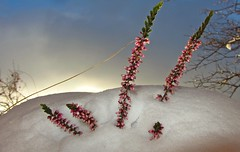 Winterbeet (kadege59) Tags: nature natur canon winter bloom blumen heide sky wow wonderfulnature beautifullight light