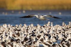 Inspection (gseloff) Tags: americanavocet bird flock flight bif wildlife bolivarflatsshorebirdsanctuary galvestoncounty texas gseloff