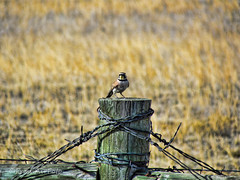 Prairie Post (RootsRunDeep) Tags: bird fence friday wire barbed nature prairie wyoming feathers post idplease hornedlark