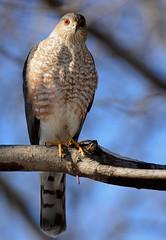 Sharp-shinned Hawk - The Big Stare (JDA-Wildlife) Tags: birds birdsofprey raptors hawks hawksharpshinned sharpshinnedhawk nikon nikond7100 tamronsp150600mmf563divc portrait closeup jdawildlife johnny eyecontact wow